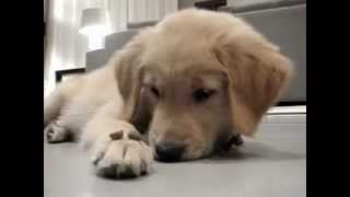 House Training A Puppy.flv