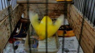 🐦 Канарейка купается 🛁 canary bathes