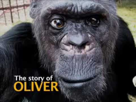El calvario de Oliver, el chimpancé del que se dijo que era un híbrido simio-humano