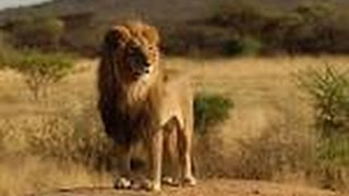 Дикая Природа Африки.Львы.