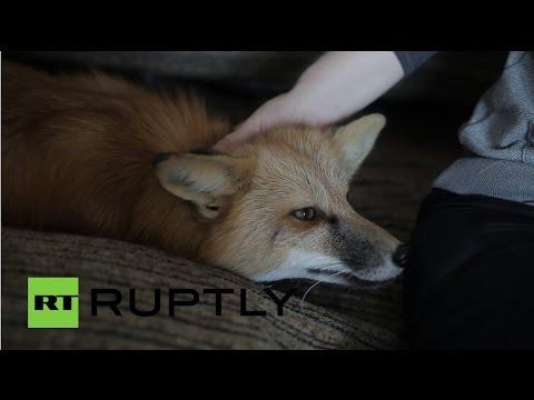 В одной из квартир Новосибирска живет одомашненная лиса