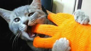ЭТОТ КОТЕНОК КУСАЕТСЯ ТАК, ЧТО ХОЗЯИН ОБЩАЕТСЯ С НИМ В РУКАВИЦАХ. Приколы с котами - нежданчик