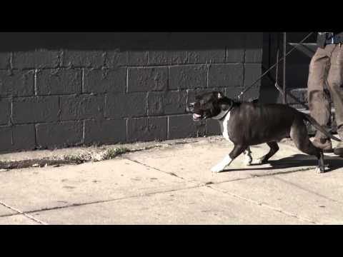 Out of Control Pit Bull - First Day of Training | K9 Connection