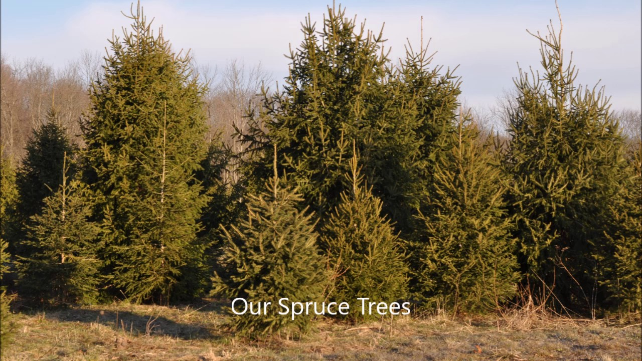 About Spacing Spruce Trees How To Youtube