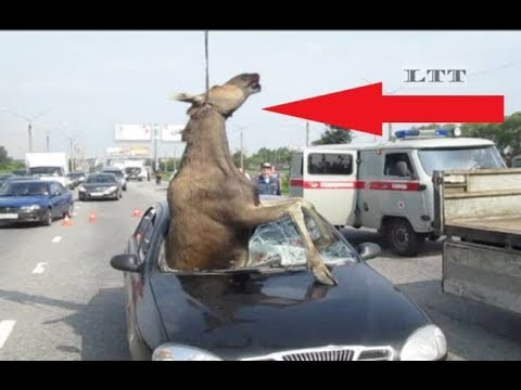 ANIMALS on the ROAD VS CARS and TRAINS (accident COMPILATION No. 1)