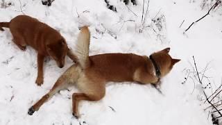 萌宠贺新岁,瑞雪兆丰年!田园犬下司犬组团踏雪,欢快惬意乐逍遥。发布...