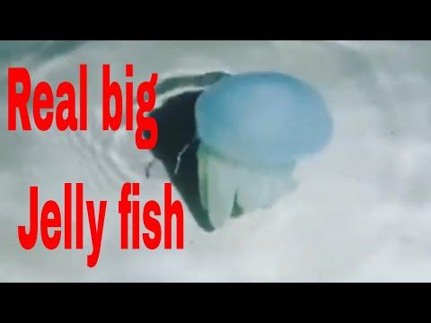 jellyfish-or-sea-jellies