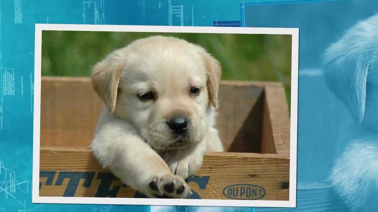 Labrador pups te koop youtube - Te koop ...