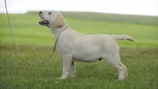 Denver Okeanas Elite. 3,5 Months Puppy..