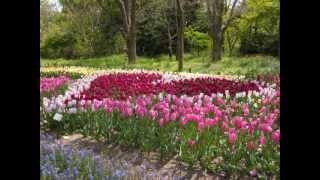 松尾大社の山吹、伏見の酒蔵と菜の花、仁和寺の御室桜、植物園のチュー...
