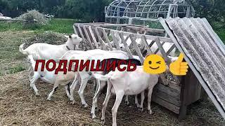 Стойловое содержание коз #стойловоесодержаниекоз #кормлениекозлят #фермерскиебуднисемьиФеоктистовых