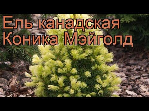 ель conica maigold