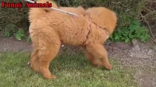 キング・ドッグス - チベット・マスティフ・子犬 - Funny Dogs Compilat...