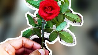Gambar cover How to Grow Rose Plant from Cutting? (Urdu|Hindi)