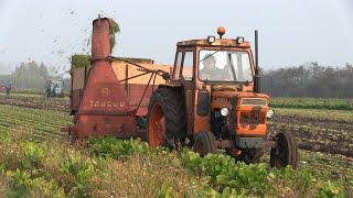 Chopping Off Sugarbeet Tops | Massey Ferguson 65 | Ford 5000 | Fiat Tractors