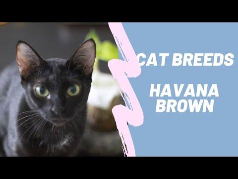 HAVANA BROWN  CAT BREEDS