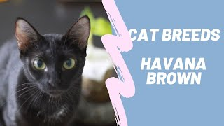 HAVANA BROWN  CAT BREEDS