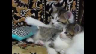 Budgie vs Kittens