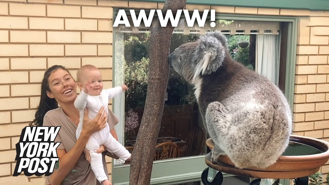Baby seeing koala for the first time is un-bear-ably cute   New York Post