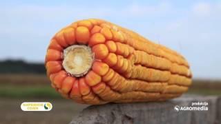 LK hibridi kukuruza – jer svaki dobro rađa 445