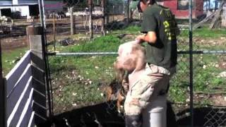 Pig Castration - WARNING: Graphic Content