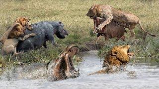 家族のカバは赤ちゃんカバを救うためにクレイジーライオンを飲み込む - ...