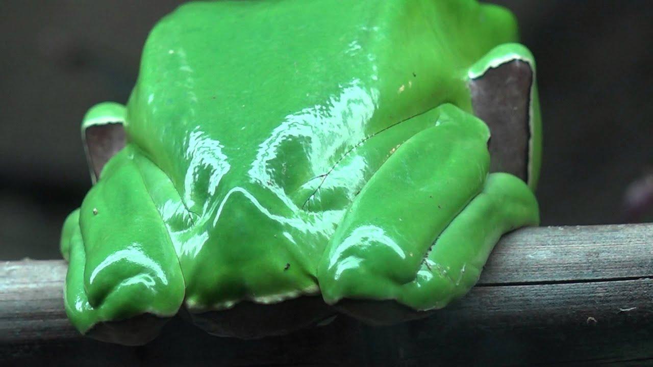 Giant Waxy Tree Frog - YouTube