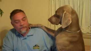 Don't Ignore A Weimaraner - Funny!