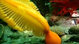 Orange Sea Pen (Ptilosarcus gurneyi)
