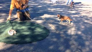 Dog Rattlesnake Aversion Training