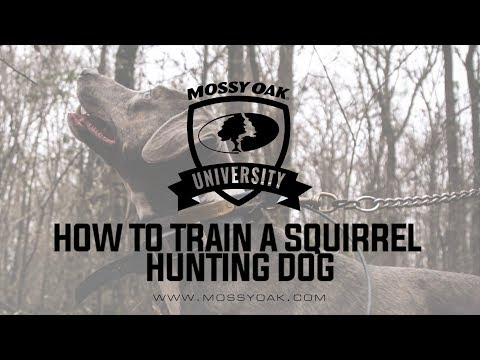 How To Train A Squirrel Hunting Dog