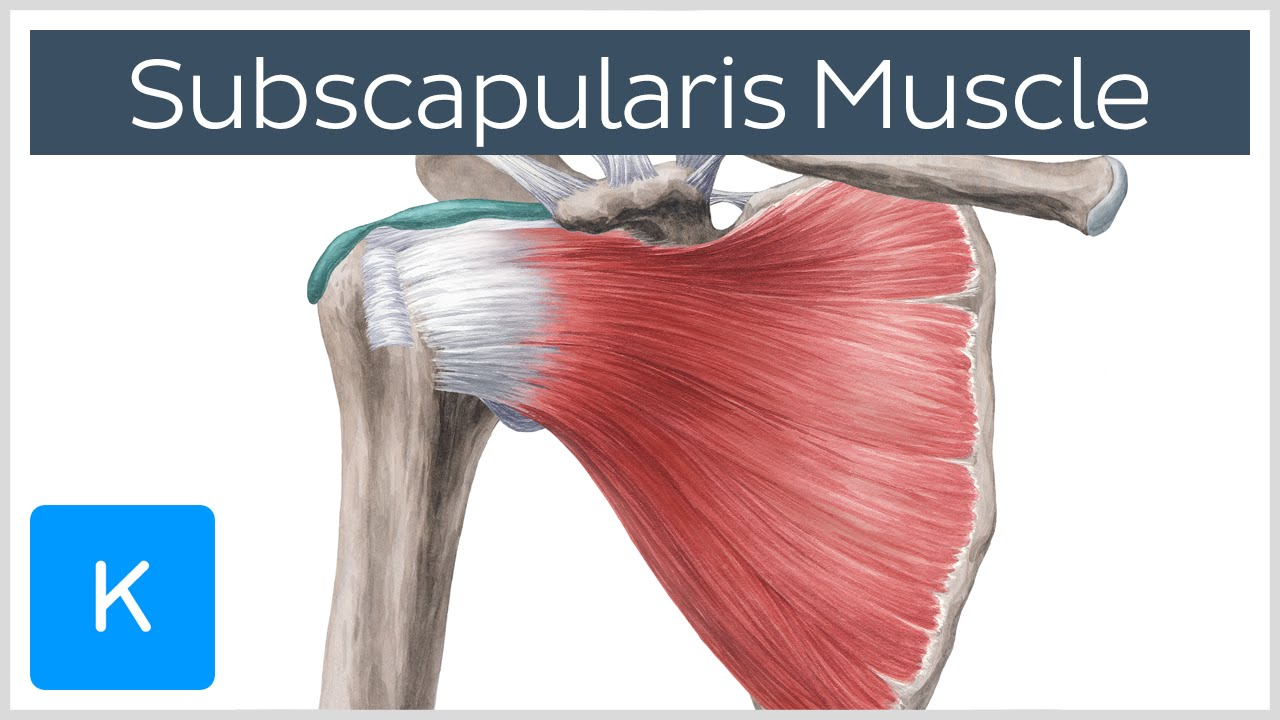 Subscapularis Muscle Origin Insertion Innervation Action
