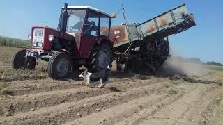 Kopanie ziemniaków 2019 II Ursus c-330 II kombajn Anna II