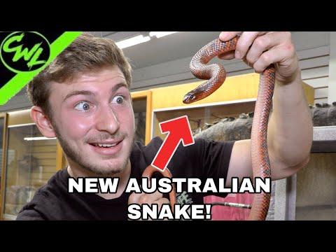 NEW AUSTRALIAN SNAKE!!! (VENOMOUS)