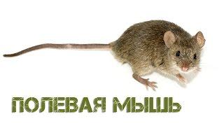 Полевая мышь в поисках мамы