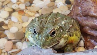У меня новый питомец, Лягушка водонос!!!       Заселение + кормление