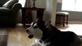 Собака породы Хаски исполняет песню своей подруге!!! Очень милая собачка!!!