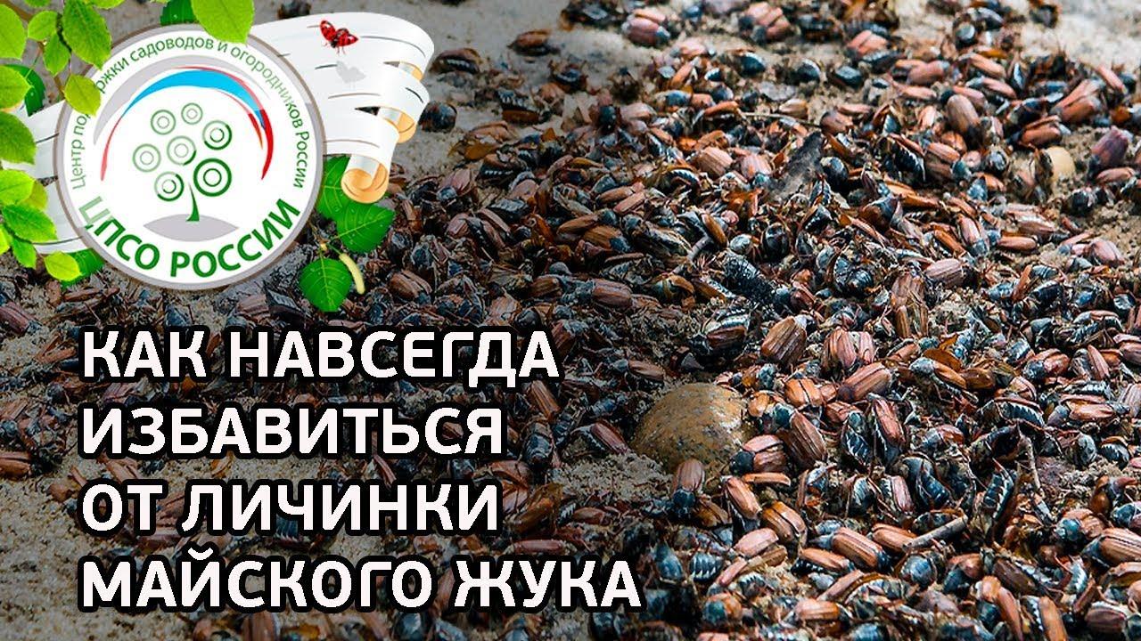 ИЗБАВЬТЕСЬ ОТ ЛИЧИНКИ МАЙСКОГО ЖУКА НАВСЕГДА. Способы борьбы с личинками майского жука.