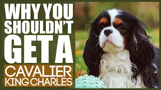 Why You SHOULD NOT TO GET A CAVALIER KING CHARLES SPANIEL