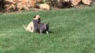 Chihuahua Puppies 8th August 2015