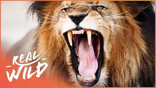 Lion Fights Off Intruders | Real Wild Shorts