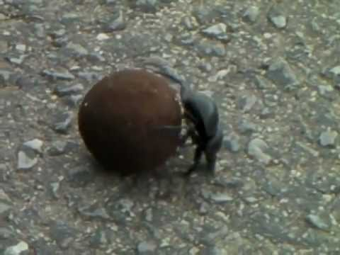 Dung beetle working 001