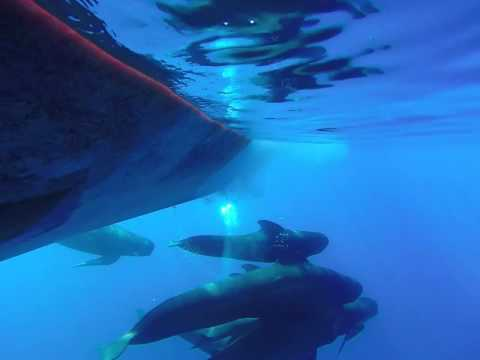 "Mediterranean Pilot Whales ""listen to their voices"""