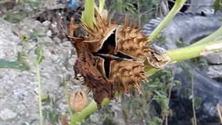 Ядовитые растения. Дурман обыкновенный /  Datúra stramónium