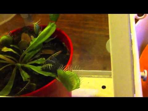 Venusflytrap eats huge horsefly