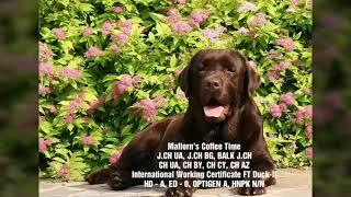 Лабрадор ретривер. Щенки шоколадного окраса! / Puppy chocolate labrador retriever for sale!