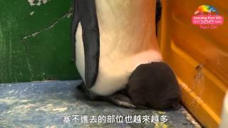 國王企鵝旋風式成長 爸媽避風港回不去了 One month Old King Penguin Chick Growing Bigger