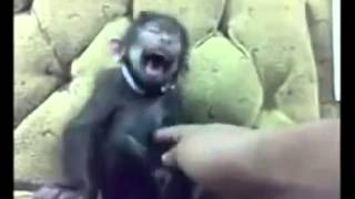 Monkey non stop laughing   YouTube
