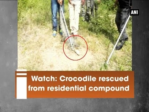 Watch: Crocodile Rescued From Residential Compound - ANI News