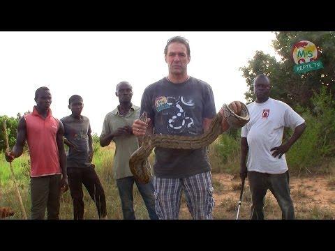 Reptil TV - Folge 66 - African Rock Python / Felsenpython-Jagd in Afrika